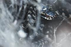 European adder (stephan_amm) Tags: viper snake kreuzotter adder fichtelgebirge wildlife nikon schlange giftschlange giftig venomous