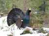 Capercaillie (Chas Moonie-Wild Photography) Tags: capercaillie scotland wild snow winter pine forest male grouse