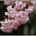 Kirschblüten thumbnail