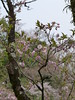 18o8701 (kimagurenote) Tags: 多摩森林科学園 tamaforestsciencegarden 桜 sakura cherry blossom prunus cerasus flower tree 東京都八王子市 hachiojitokyo
