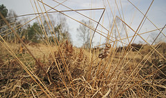 Gevlamde Vlinder - Endromis versicolora - Kentish Glory (merijnloeve) Tags: evlamde vlinder endromis versicolora kentish glory rozendaal heideterrein ge arnhem golfterrein delhuijzen gemeente moth apeldoorn veluwe nachtvlinder mothwatching moths nachtvlinders spinner macro gevlamde