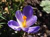 wiosenne kwiaty Frühlings Blumen (arjuna_zbycho) Tags: wiosna frühling spring flower flowers kwiat kwiaty blume blumen nature makrofoto krokus szafran croci crocus zafferano natur
