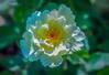Everything Flowers (12bluros) Tags: blossom bloom rose oldgardenrose albarose rosaalbasemiplena oldrose flower white goldstamens flora floral semidouble canonef100mmf28lmacroisusm nybg