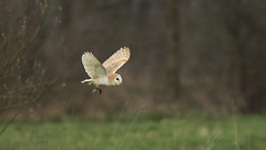 Veronica rides again (Cosper Wosper) Tags: barnowl vole somerset levels