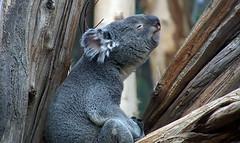 Koala (ingrid eulenfan) Tags: leipzig zoo tier animal beuteltiere