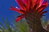 Sideshow Bob (oybay©) Tags: suncitywest arizona unique unusual nightbloom night cactusflower cactus flower flora fiori blumen argentinegiant macro upclose color colors white whiteflower light greatshot coolshot cool indoor black background plant red