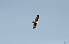 'Refuse to be average. Let your heart soar as high as it will.' (Ramalakshmi Rajan) Tags: quotes kite nikkor18140mm nikond5000 nikon birds bird