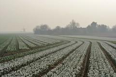 The colour version :) (peeteninge) Tags: landscape landschap flowerfield flowers mill windmill fog spring holland bloemen bollenveld molen windmolen fujifilmxt2 fujifilm