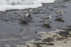 Semipalmated Sandpipers (fantommst) Tags: lisaridings fantommst hawaii surf beach pacific ocean semipalmated sandpipers bird shore haleiwa hi oahu usa us calidris pusilla shorebird