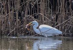 9Q6A9860 (2) (Alinbidford) Tags: alancurtis alinbidford brandonmarsh greatwhiteegret nature wildbirds wildlife