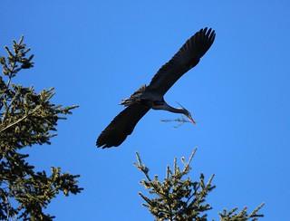 Heron taking twig to nest