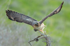 Red-tailed Hawk (X82_7138-1) (Eric SF) Tags: redtailedhawk hawk raptor coyotehillsregionalpark fremont california