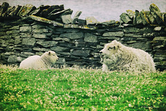Once upon a time... (Monica Muzzioli) Tags: nature sheep sheeps lamb wall stones grazing shetland shetlands wool sea onceuponatime