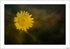 Sol (Explore 17-03-2018) (V- strom) Tags: sol sun flor flower amarillo yelow petals pétalos concepto concept texturas textures macrophotography macro macrofotografía luz light nikon nikon105mm nikond700 vstrom naturaleza nature
