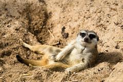 (Laszlo Papinot) Tags: werribeeopenrangezoo werribee meerkat dirt sand ground rest