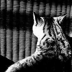 Sur sa liste : fauteuil pour l'été... (woltarise) Tags: fauteuil osier bois chat essayage montréal home textures littledoglaughednoiret