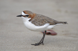 Red-capped Plover - Charadrius ruficapillus - Male 15 cm.