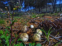Lycoperdon mushrooms (panoskaralis) Tags: mushrooms plants green wildflowers flowers pine trees outdoor macro wood forest lesvos lesvosisland mytilene greece greek hellas hellenic greeknature