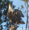 eagle 034fff (Mike Black photography) Tags: bald eagle bird birding big year nature watching canon dslr 5dsr body 800mm usm is l lens nj new jersey shore trees nest nesting pair wildlife sky blue white black mike