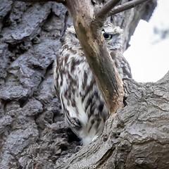 LittleOwl-0007.jpg (vorneo) Tags: wildbird kingdomanimalia birdofprey owl binomialnameathenenoctua littleowl bird speciesanoctua phylumchordata familystrigidae orderstrigiformes classaves genusathene