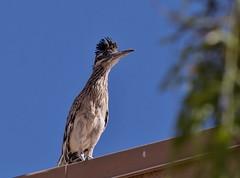 Rooftop Vantage (harefoot1066) Tags: roadrunner geococcyxcalifornianus geococcyx greaterroadrunner
