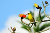 黃鸝  Black-naped Oriole (UG Tsai) Tags: birds 鳥 動物
