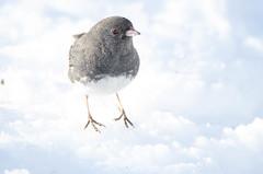Sauter dans les nuages (anniebevilacqua) Tags: oiseau bird oiseaudhiver winterscene scènedhiver winterbird juncoardoisé darkeyedjunco juncohyemalis neige snow faunemontréal montrealwildlife jardinbotaniquedemontréal emberizidae montreal quebec canada