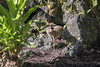Small Asian Mongoose (scrappydoggy) Tags: mongoose animal critter hawaii sony canon 100400 100400mm a7rii a7r2 metabones lava island landscape wildlife rock tree bush