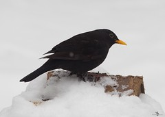 blackbird in snow (Simon Dell Photography) Tags: snow uk sheffield hackenthorpe s12 simon dell photography 2018 minibeastfromtheeast weather nature wildlife birds