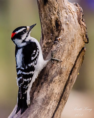 Downy III (dbking2162) Tags: birds bird wildlife woodpecker nature nationalgeographic indiana downy animal trees outside portrait