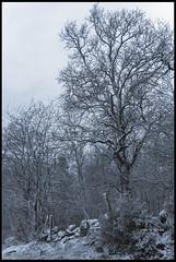 20180319_Sous la Neige_3 (Clapiotte_Astro) Tags: hiver tamron1750mm canon700d tree arbres neige snow vendée treizevents