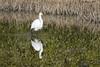Reflecting (wandering tattler) Tags: bird wildlife egret great greategret pool water reflection landscape sarasota florida 2018 scenery