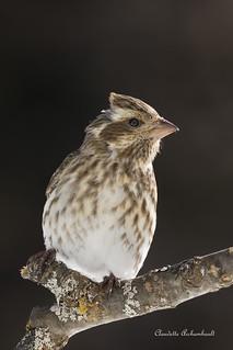 Roselin pourpré femelle, Purple Finch female