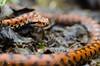 Vipère aspic (J-C Isabelle) Tags: vipère aspic serpent reptile nature bois france french snake couleur orange nikon d5100 sigma 105 macro