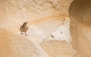 Wren on a rock