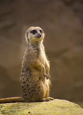 Animals. (ost_jean) Tags: dieren animaux nikon d5200 7003000 mm f4563 ostjean stokstaartje meerkat themeerkat suricate