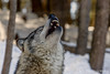 Singing for his supper (jklaroche) Tags: parcomega graywolf greywolf timberwolf