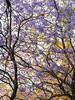 Jacaranda (álvaro argüelles) Tags: tree blooming jacaranda guadalajara mexico primavera spring purple flowers