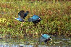 IMG_1027 Grey-headed Swamphen (Porphyrio poliocephalus) (vlupadya) Tags: greatnature animal aves fauna indianbirds malyadi karnataka greyheaded swamohen porphyrio