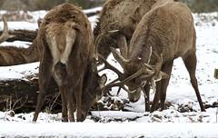 IMG_9849 (Sula Riedlinger) Tags: reddeer reddeercervuselaphus cervuselaphus deer redstag reddeerstag stag greaterlondonwildlife greaterlondon greaterlondonparkswildlife londonwildlife londonroyalparks londonparkswildlife mammal nature nationalnaturereserve surrey surreywildlife richmondpark royalparks royalpark ukwildlife uknature urbanwildlife urbannature wildlife wildlifephotography snow wildlifeinsnow