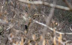 Pic noir (JeanJoachim) Tags: picnoir dryocopusmartius blackwoodpecker oiseau bird pentaxk5ii piciformes picidae vogel aves uccello fågel fugl pássaro バード lintu птица ptak smcpentaxda300mmf4edifsdm schwarzspecht