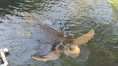 Sea turtle takes a peak at the Key West Aquarium (Kaemattson) Tags: key west fl florida aquarium mallory square sea turtle seaturtle keys ocean saltwater atlantic gulf mexico gulfofmexico atlanticocean bayofflorida everglades limestone keywest southernmost critters animals closeup
