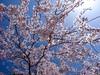さくら cerezo 広島市南区松川町 松川公園 2015年3月30日 (hiroshimaphotography) Tags: ساكورا cherryblossom sakura cerezo ساکورا 벚꽃 pokokbungasakura сакура 樱花 sakuro bloesem cerejeira սակուրա fiorediciliegio japanischekirschblüte საკურა ചെറിബ്ലോസം ချယ်ရီပန်း ซากุระ seresangnamumulaklak hoaanhđào