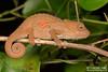 Bradypodion caeruleogula - Umlalazi Dwarf Chameleon. (Tyrone Ping) Tags: bradypodion caeruleogula umlalazi dwarf chameleon angle tyroneping wwwtyronepingcoza macro mt24ex forest chameleons canon 100mmmacrof28 5dmiii eshowe zululand
