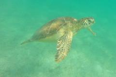 Green Turtle Coming Up For Air (elhawk) Tags: greenturtle seaturtle turtle akumal yucatan