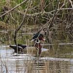 Wood Duck Drake thumbnail