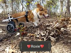 Roxie & Her Cart (Corgibird) Tags: corgi corgigicorgi pembrokewelshcorgi paralysis degenerativemyelopathy dm courage spirit dog dogcart wheelchair adventure hiking homedepot