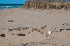 Snowy Owl on the Beach (Epperly Photographic Images) Tags: snowy owl birds nature michigan north cold nikon d800e