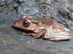 Borneo Eared Frog IMG_8317 (Jennz World) Tags: ©jennifermlivick frogs royalbotanicalgardens burlington ontario canada frog toad