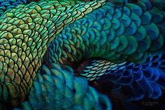 everything overlaps (cherryspicks (off)) Tags: macro animal feathers bird peacock peafowl nature green blue abstract